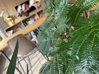 蕾 ねむの木.jpg